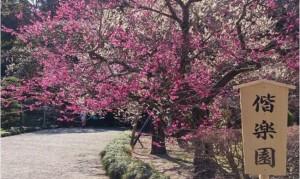茨城水戸偕楽園梅まつり2015第119回駐車場期間何分咲き