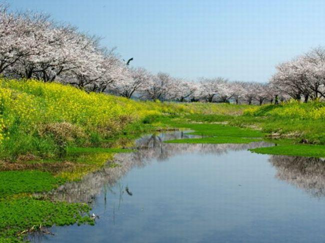 福岡 桜 おすすめ名所│各見頃 ...