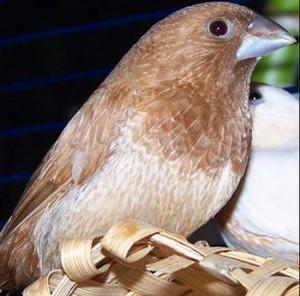 おそ松さん十四松十姉妹鳥ジュウシマツ住職違い由来元ネタ